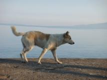 anjing tpm 2