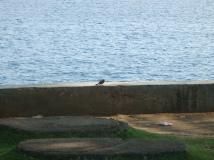 burung pipit di tepi pantai