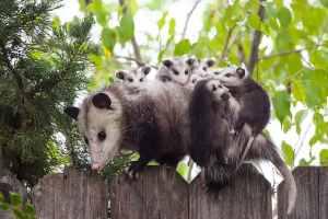 IBU possum dan anak-anaknya