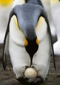 pinguin kaisar mengerami telur